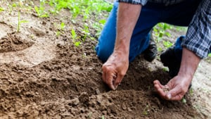 close-up of hands planting seeds in the soil