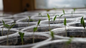 Close-up of seedlings in small pots